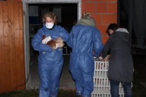 Jedes einzelne Huhn wird von Helfern abgeholt und im neuen Zuhause untergebracht.