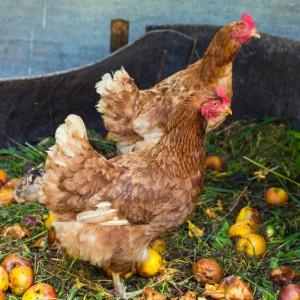 Hühner scharren auf dem Komposthaufen.