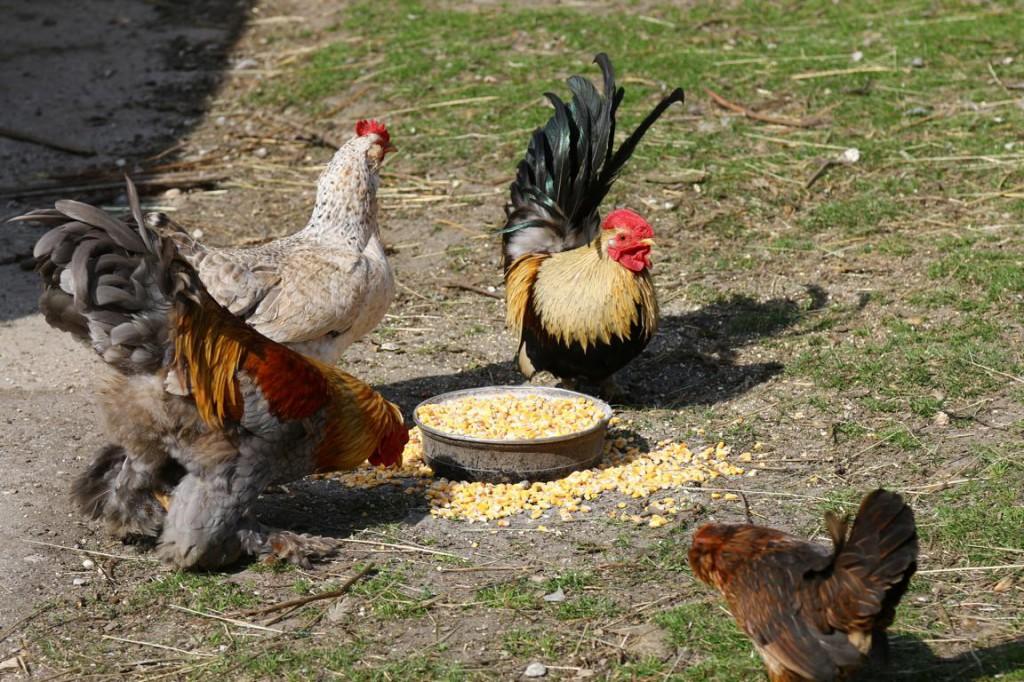 Hühner an einem Futtertrog