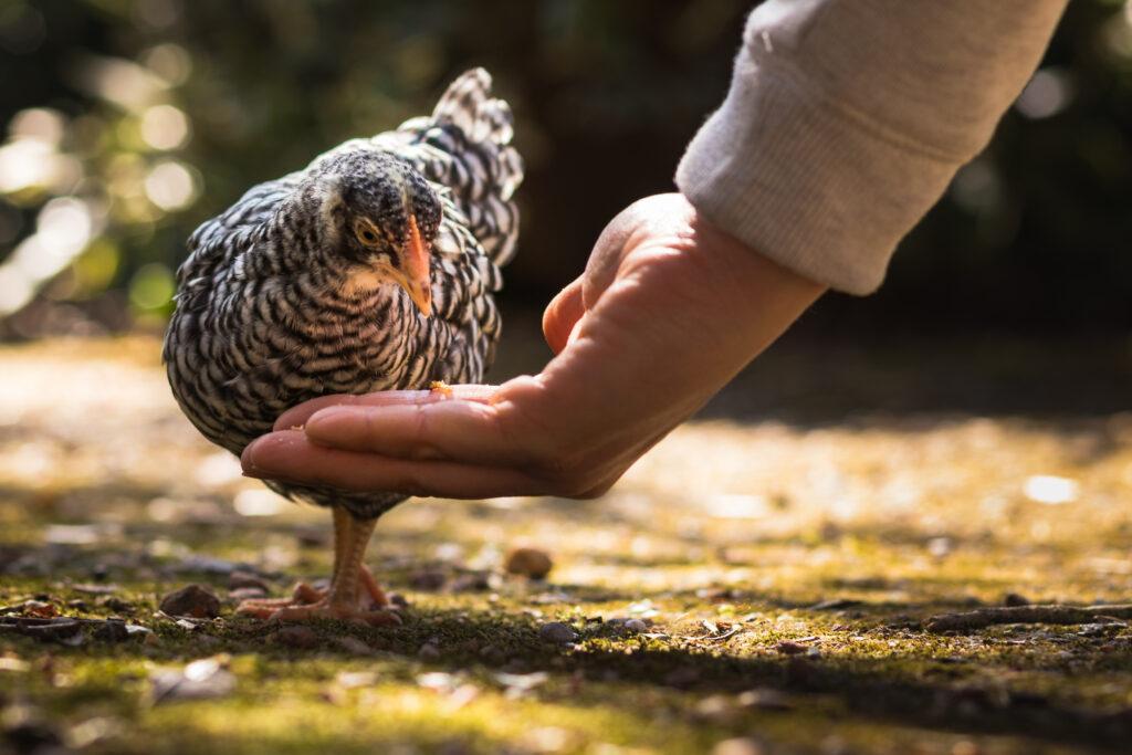 Huhn frisst aus Hand