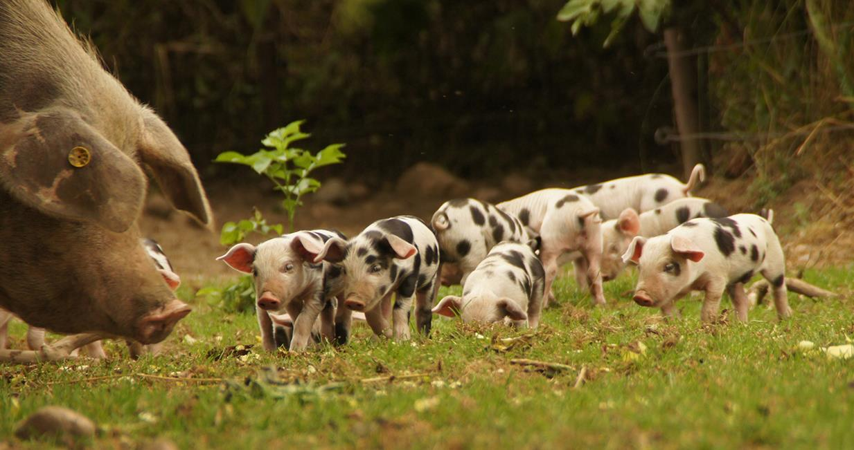 Schweinehaltung: Hobby, Selbstversorgung und Direktvermarktung