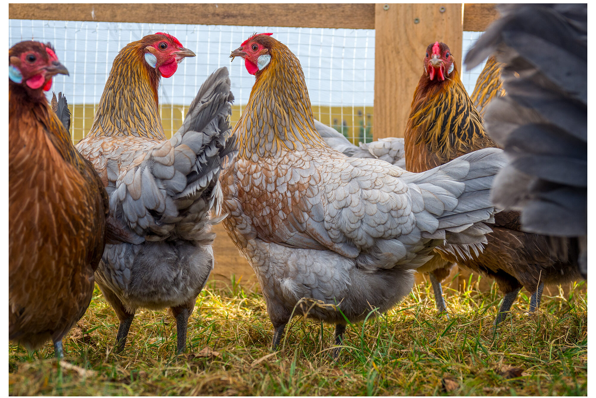 Notwendiges und nützliches Zubehör für die Hühnerhaltung (Einsteiger + Fortgeschrittene)
